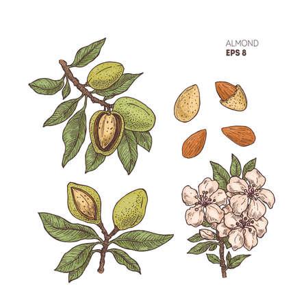 Mandelniederlassungsillustration mit den Blumen. Gravierte Stilillustration. Mandel-Nuss-Pflanze.