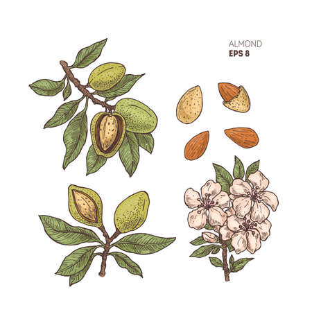 Almond branch illustration with the flowers. Engraved style illustration. Almond nut plant.