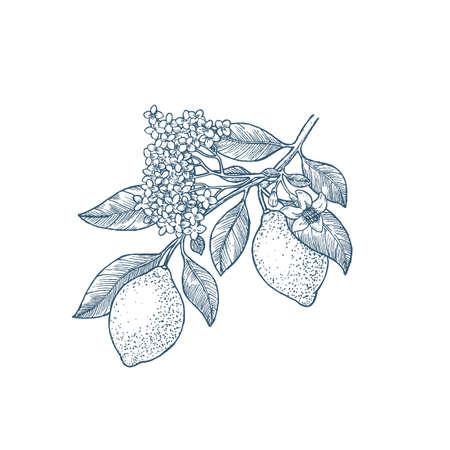 Lemon branch botanical illustration. Engraved style. Vector illustration