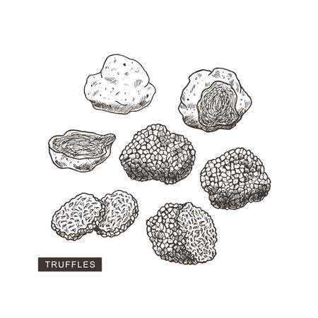 Truffle mushroom vintage illustration. Engraved style. Vector illustration