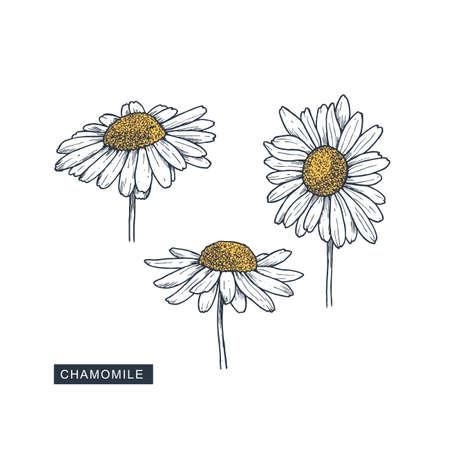 Chamomile flower colored botanical illustration. Engraved style. Vector illustration Imagens - 128521605