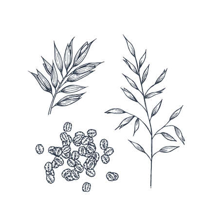 Oats botanical illustration. Engraved style. Vector illustration  イラスト・ベクター素材
