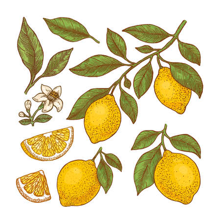 Lemon colored botanical illustration. Engraved style. Vector illustration Ilustração