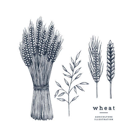 Wheat vintage style collection. Hand sketched. illustration Ilustrace
