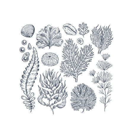 Seaweed collection. Engraved vintage sea plants, shells, pearls. Vector illustration Ilustrace