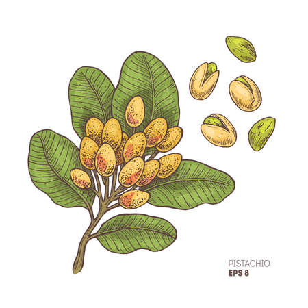Pistachio branch illustration. Engraved style illustration. Pistachio nut plant. Vector illustration