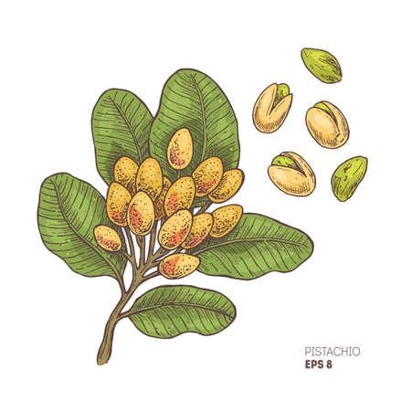 Pistachio branch illustration. Engraved style illustration. Pistachio nut plant. Vector illustration