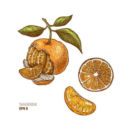 Tangerine botanical illustration. Engraved style illustration. Citrus slice. Vector illustration Illustration
