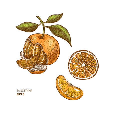 Tangerine botanical illustration. Engraved style illustration. Citrus slice. Vector illustration 向量圖像