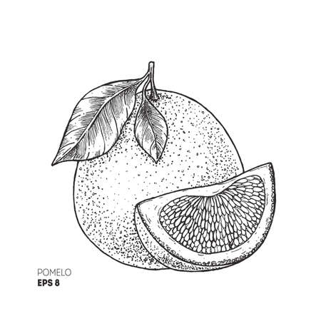 Pomelo botanical illustration. Engraved style. Vector illustration