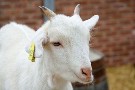enclosures:  goat Stock Photo