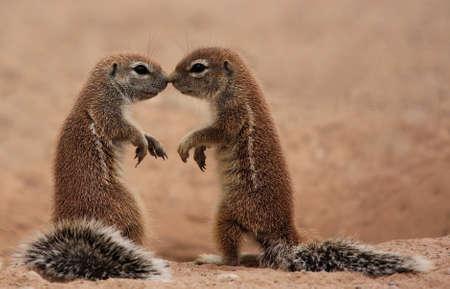 Two Ground Squirrels kissing  Xerus inaurus