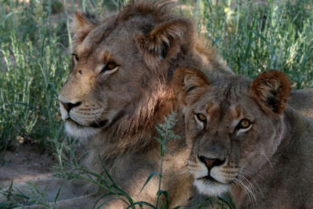 Male and female lion Stock Photo
