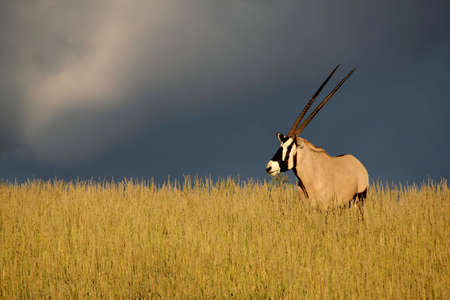 Oryx against stormy sky standing in a ray of sunlight Stock Photo