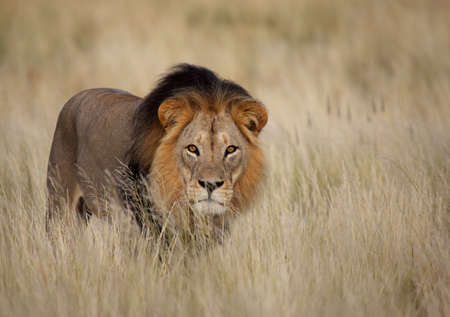Staring male lion Panthera leo photo