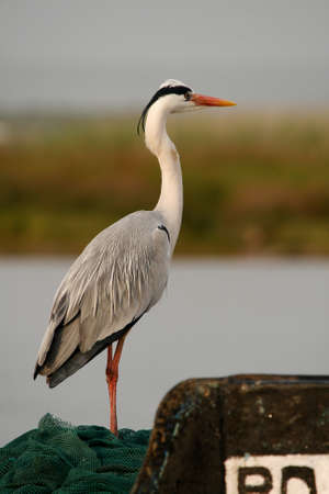 Grey Heron peacefully looking over river photo
