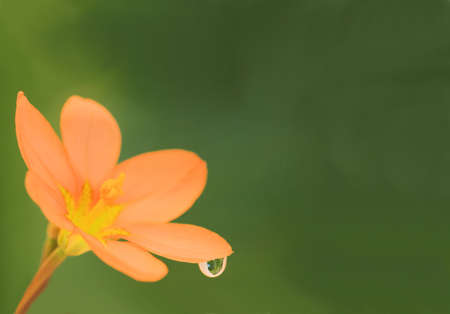 flower with water droplet isolated on green background Stock Photo