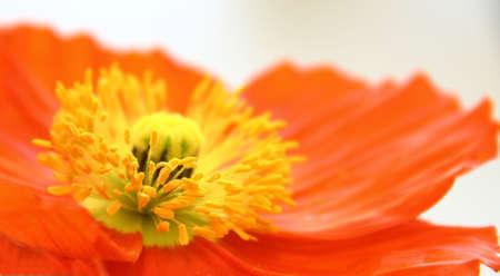 Macro orange poppy flower