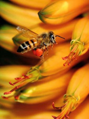 Working Honey bee photo