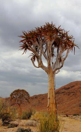 Aloe dichotoma - quiver tree Stock Photo - 13994422