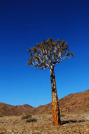 quiver: Aloe dichotoma - quiver tree in desert