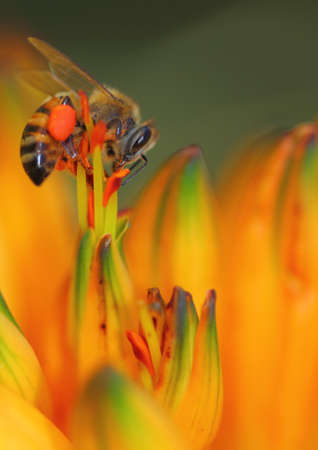 aloe flower: Working honey bee on Aloe flower
