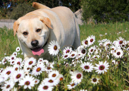 Smiling labrador in a field of daisies Stock Photo