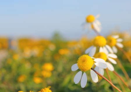 Field of lazy Daisies