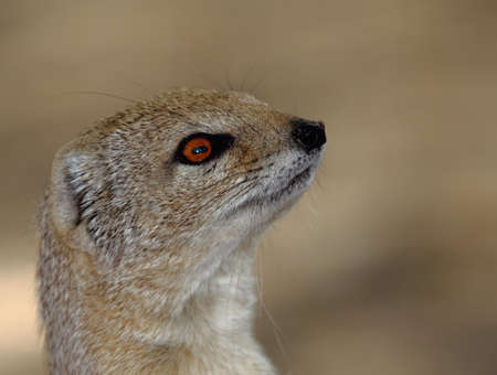 mongoose: Cute Yellow mongoose