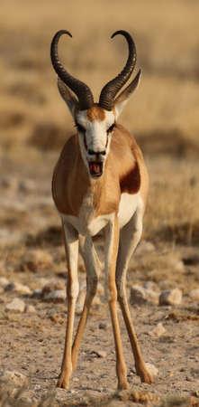 grazer: Talking springbok