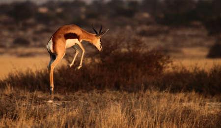 Pronking Springbok 1