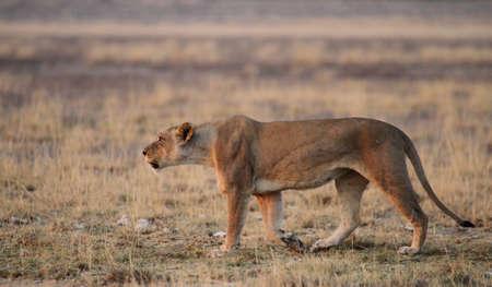 Roaring Lioness 2