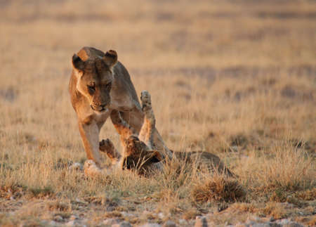 Lioness  playing with cub