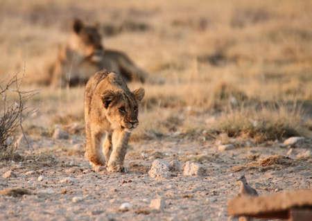 stalking: Stalking  lion cub