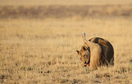 Licking lioness