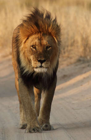 Male lion walking down the road  Stock Photo