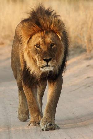 Male lion walking down the road