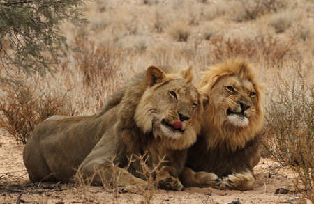 Two lion Brothers in the Kgaligadi  Stock Photo