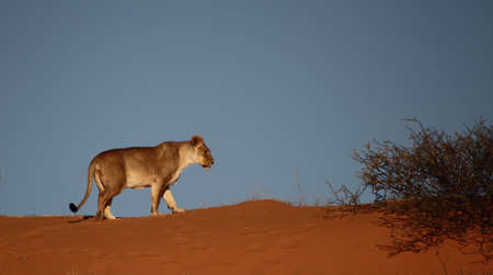 Lioness walking on red dune isolated against blue sky