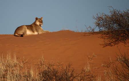 Lioness lying on a red Kalahari Dune