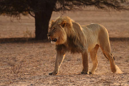 Male lion walking in the Kgaligadi National park Stock Photo