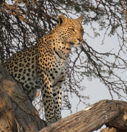 Close-up of leopard in tree Stock Photo
