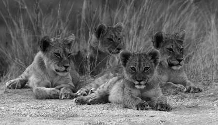 Black and White Lion Cubs Stock Photo