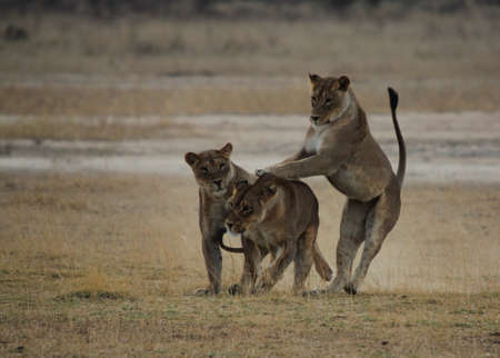 Playing Lionesses