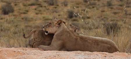 Funny photo of lioness and cub Stock Photo