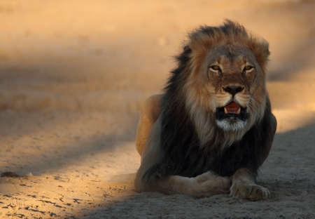 Male lion resting on sand in last light