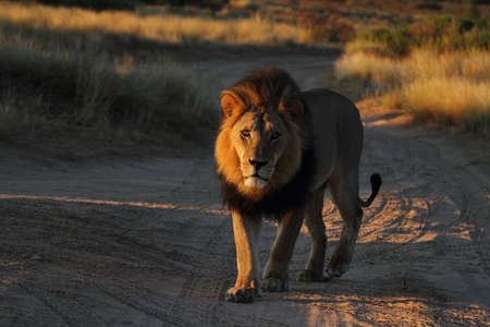Male lion focussed on car walking down the road Stock Photo