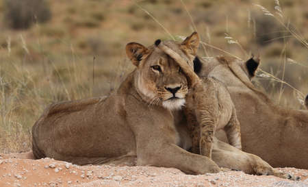 Lioness with cubs tail in her face Stock Photo