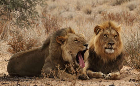 Two male lion Brothers Stock Photo