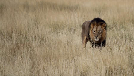 Male lion isolated in tall grass Stock Photo